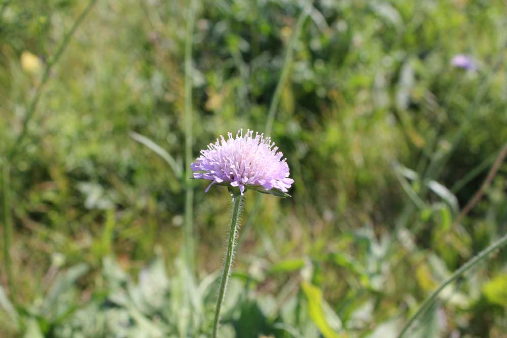 Field Scabious Sept 2011 (1)