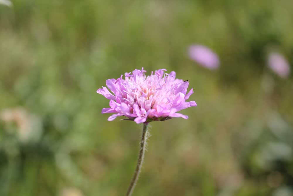 Field Scabious Sept 2011 (2)