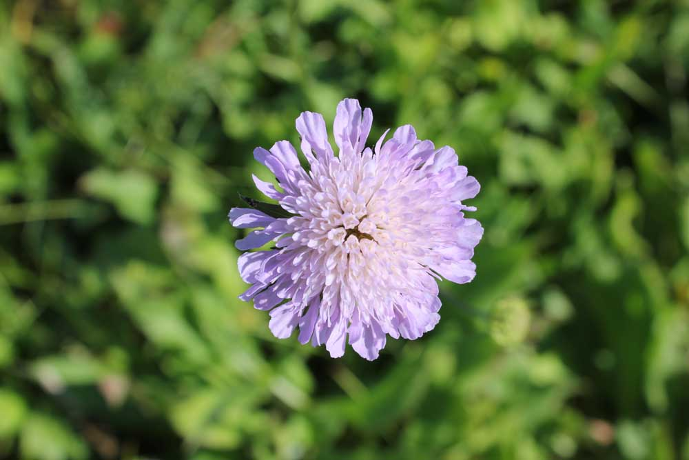 Field Scabious Sept 2011 (6)