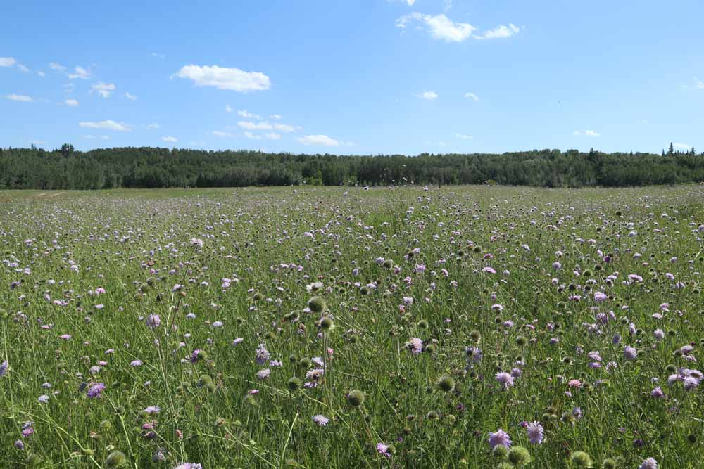 Field scabious Qiting Chen City of Edmonton (2)