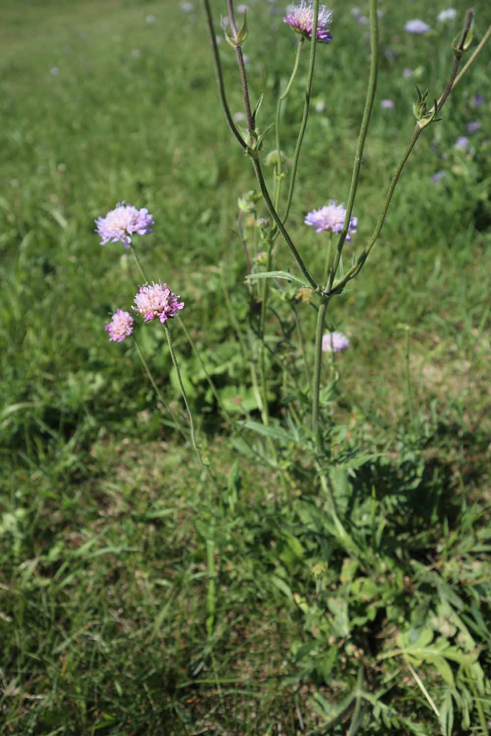 Field scabious Qiting Chen City of Edmonton (3)