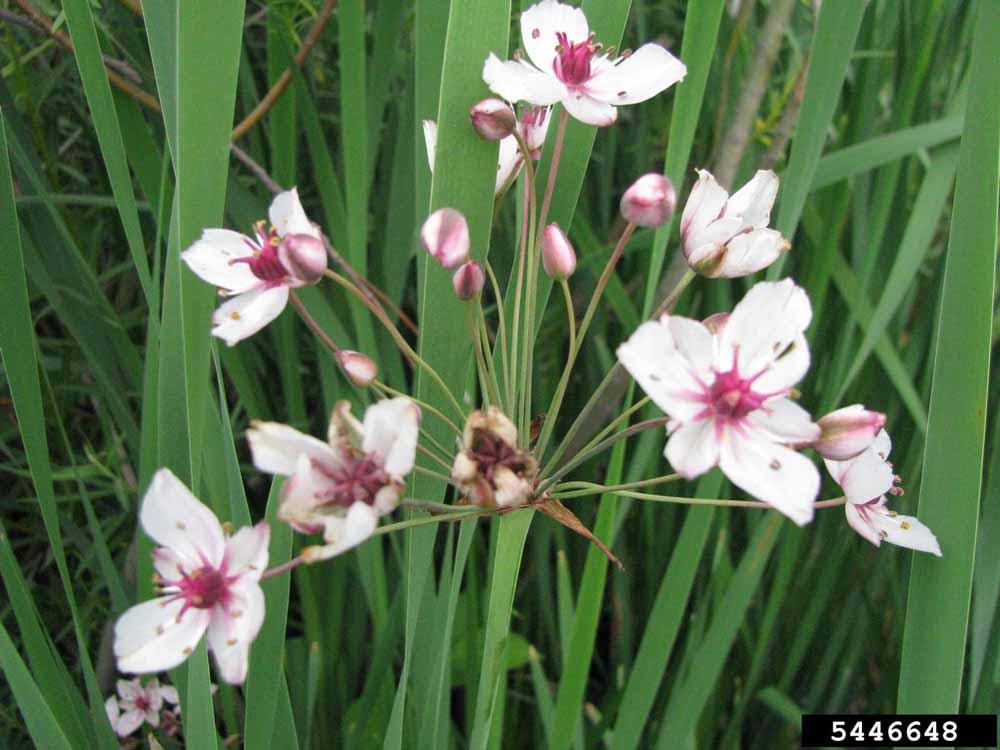 Flowering rush Leslie J. Mehrhoff, University of Connecticut, Bugwood.org(4)