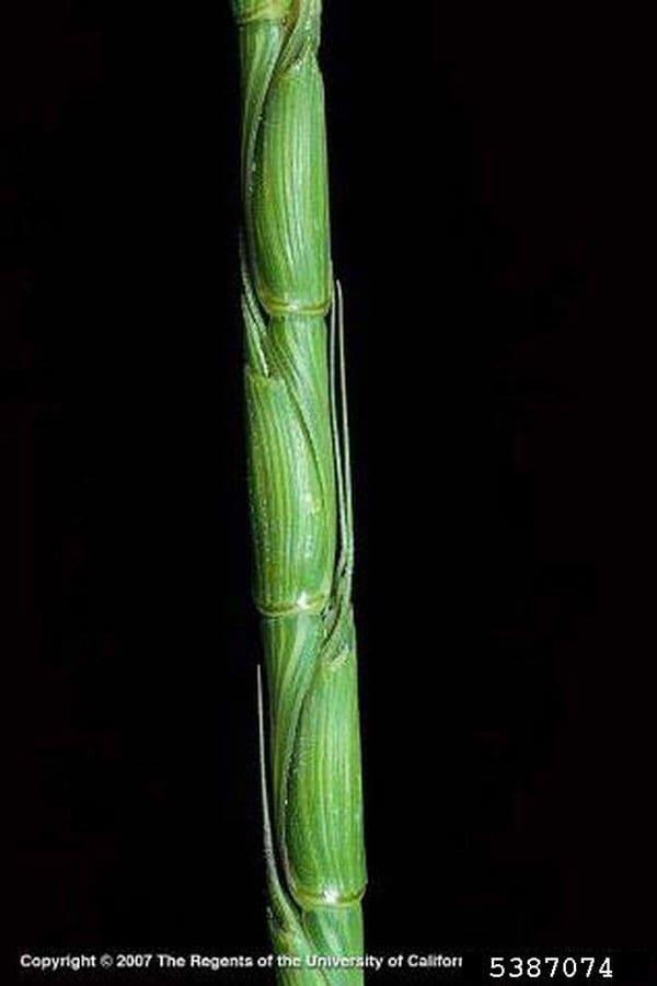 Goatgrass, jointed Joseph M. DiTomaso, University of California - Davis, Bugwood.org