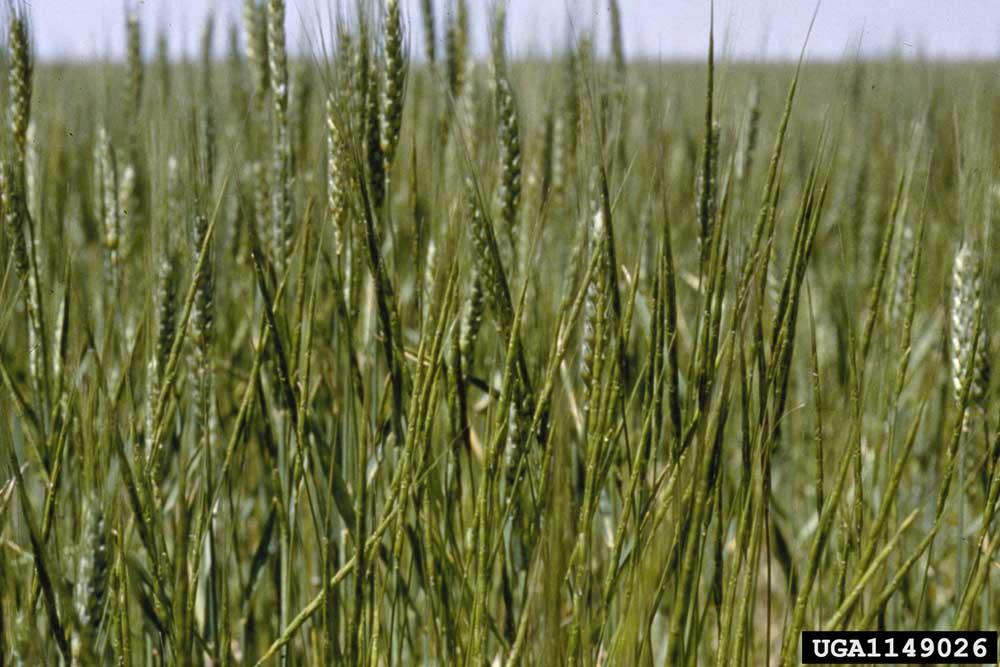 Goatgrass, jointed USDA APHIS PPQ - Oxford, North Carolina , USDA APHIS PPQ, Bugwood.org