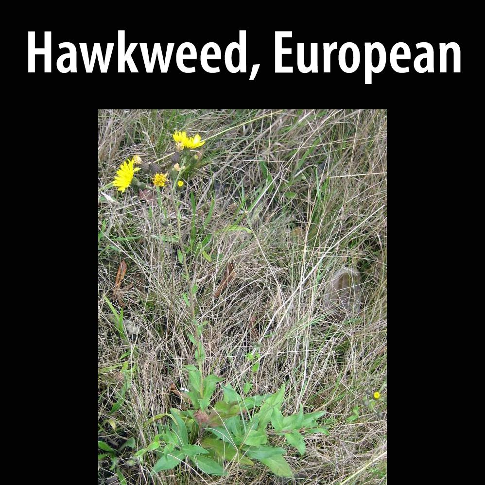 Hawkweed European