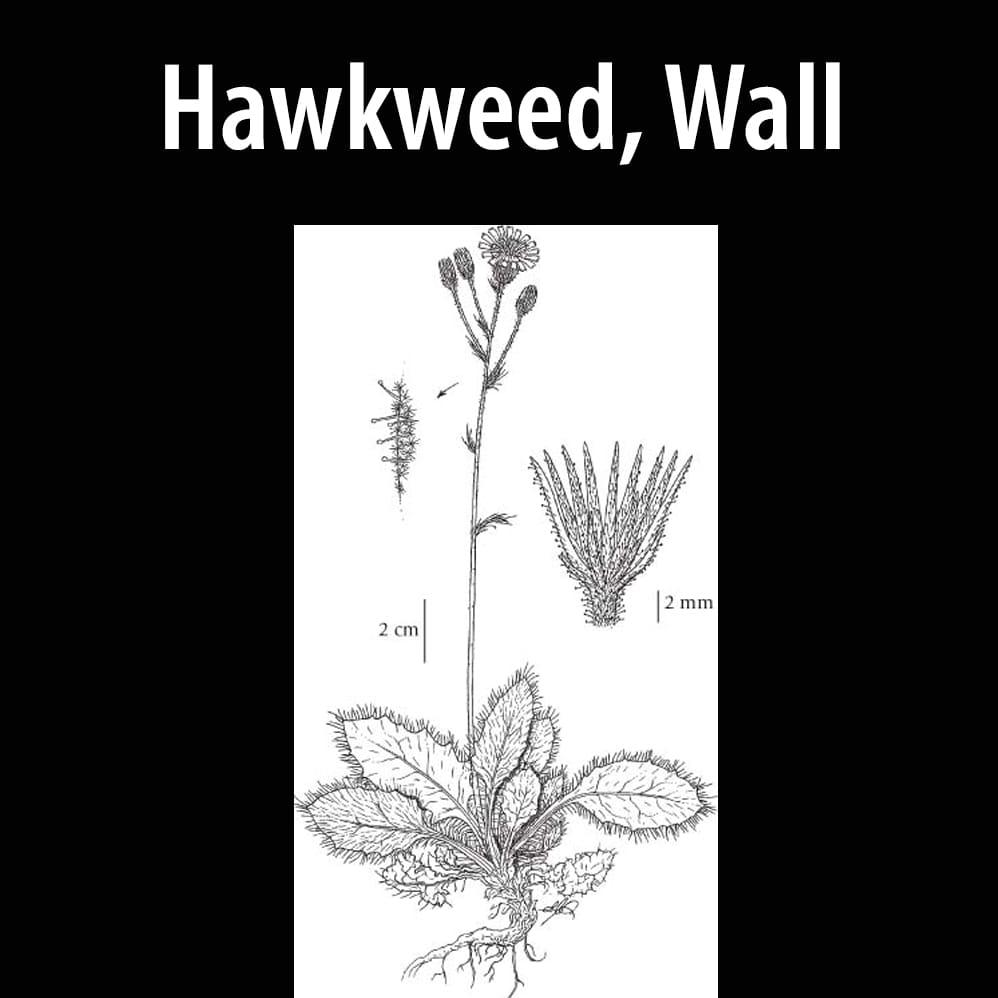 Hawkweed, Wall