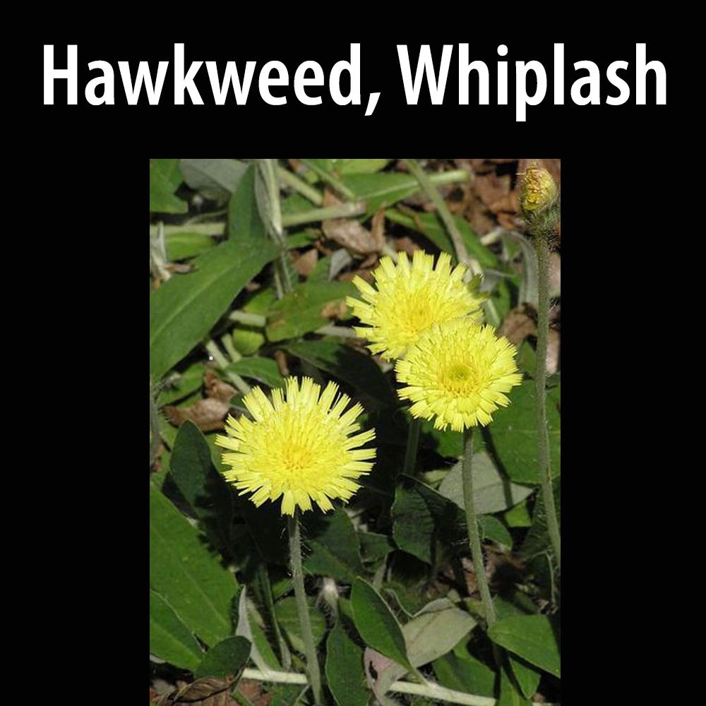 Hawkweed, Whiplash