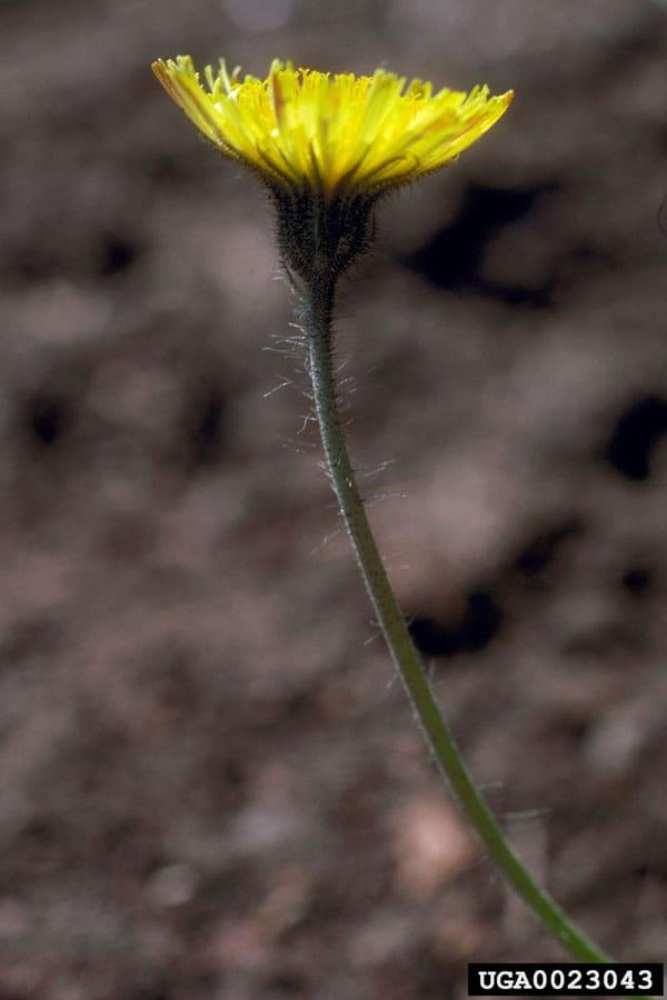 Hawkweed, mouse-ear Washington State University , Washington State University, Bugwood.org