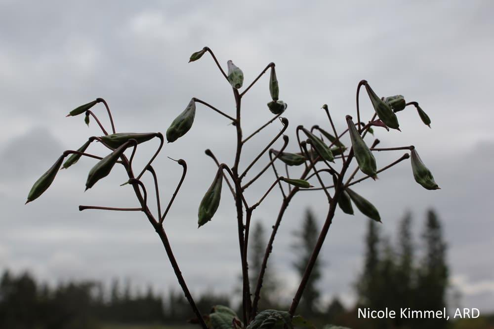 Himalayan Balsam seed pod