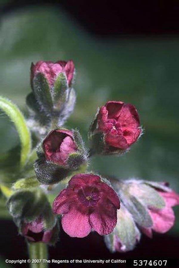 oundsTongue Flowers CloseUp Joseph M. DiTomaso, University of California - Davis, Bugwood.org