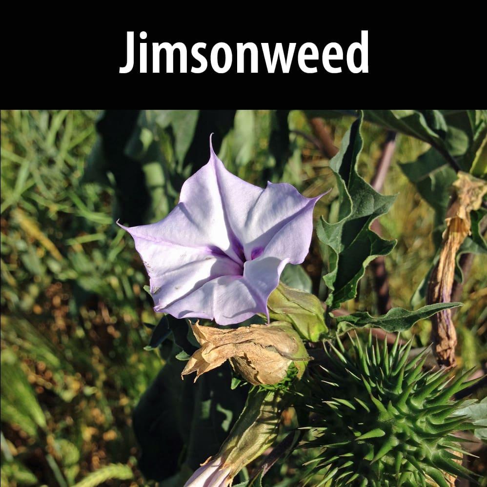 Jimsonweed