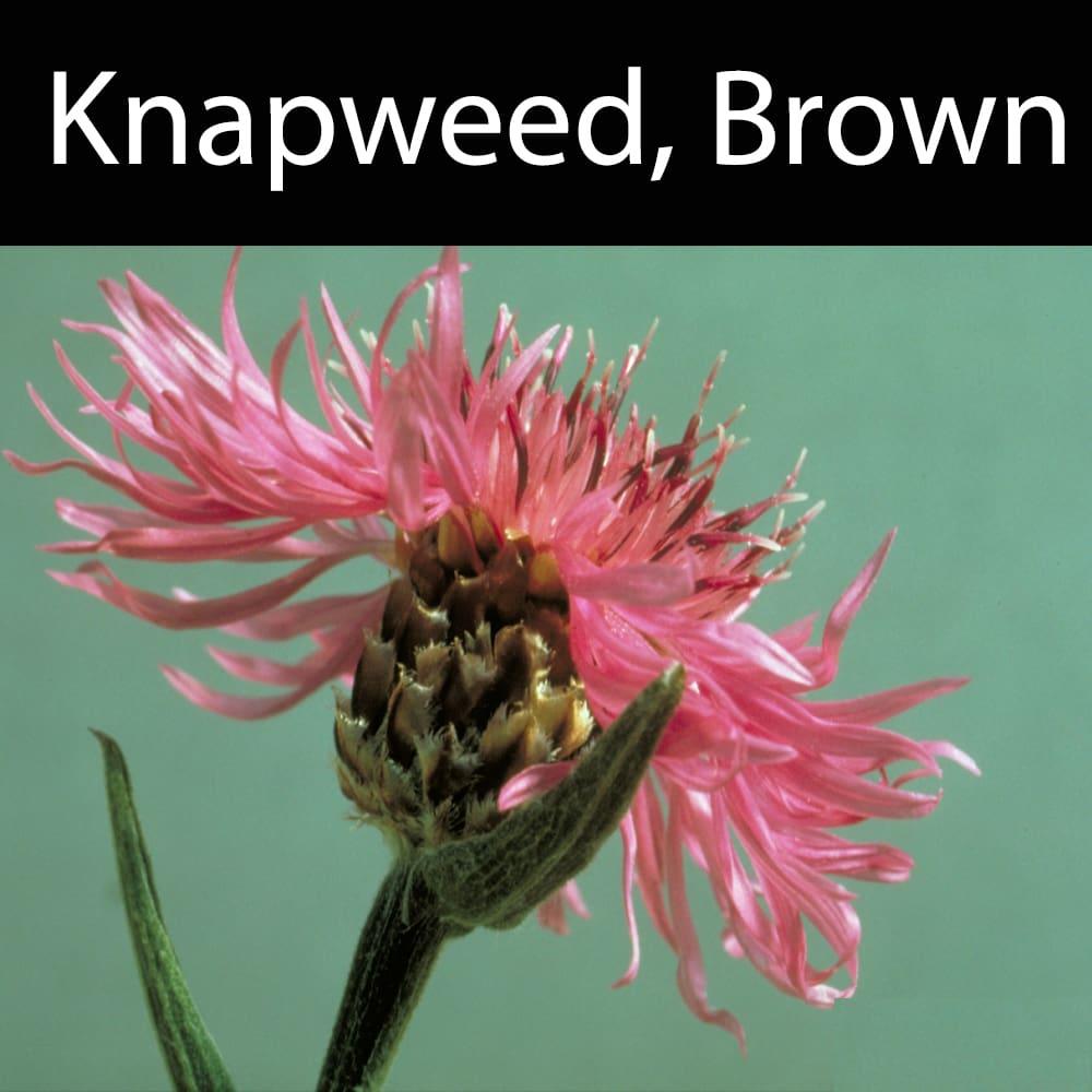 Knapweed, Brown