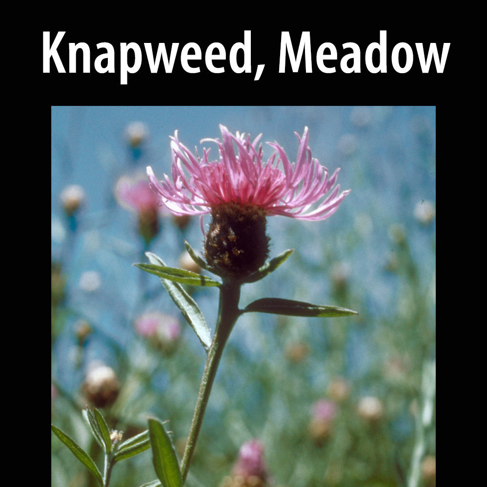 Knapweed, Meadow