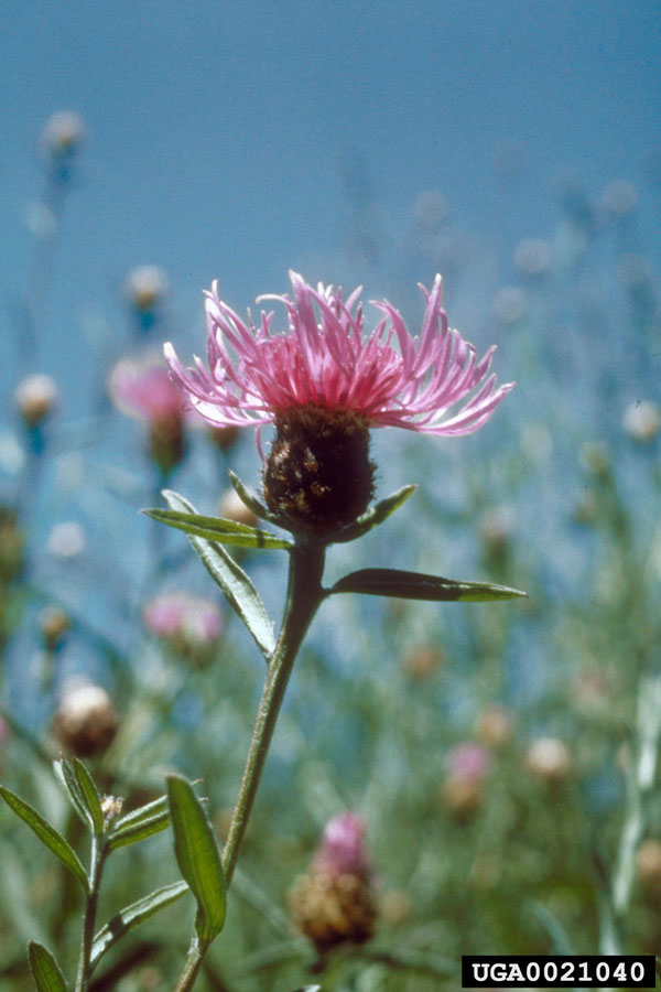 Marsh Thistle Flower _ Stem Rob Routledge, Sault College, Bugwood.org