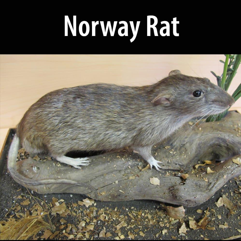 Norway rat