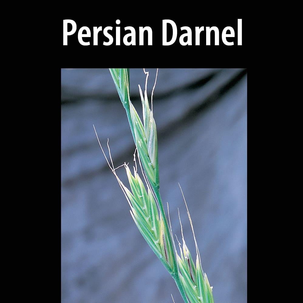 Persian darnel