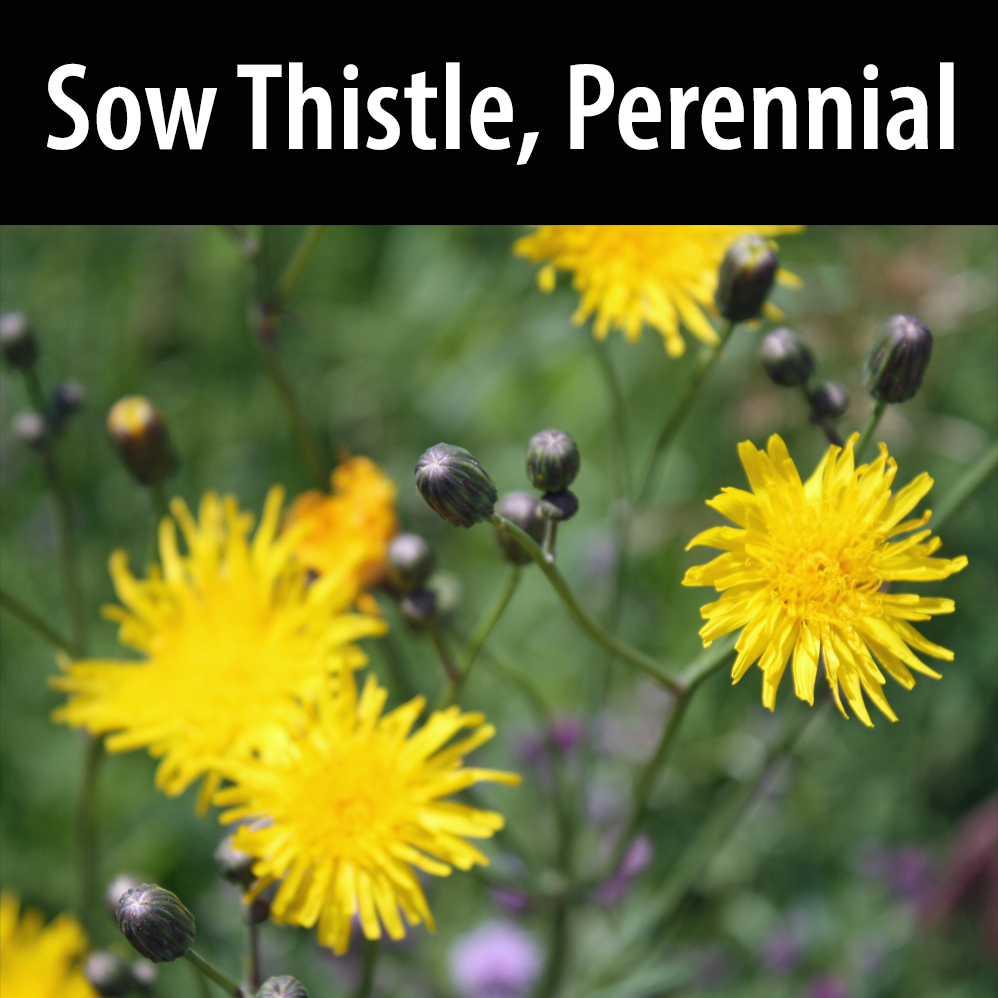Sow Thistle, Perennial