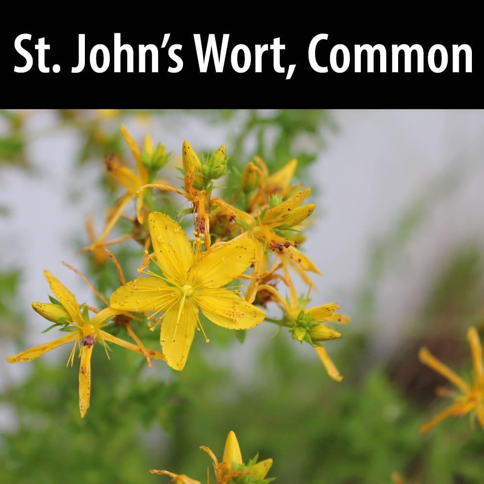 St. John's Wort, Common