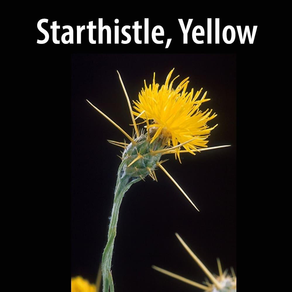 Starthistle, Yellow