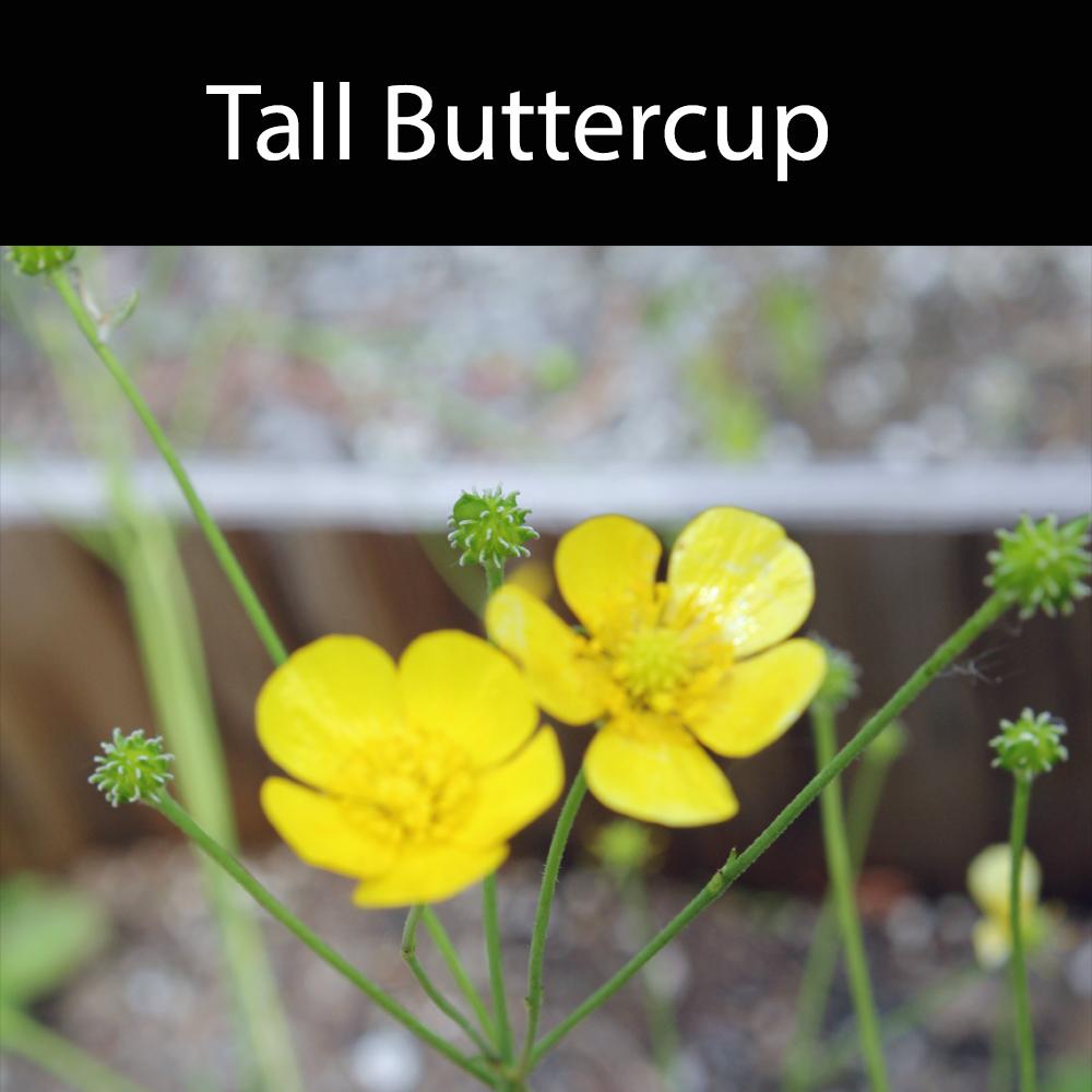 Tall Buttercup