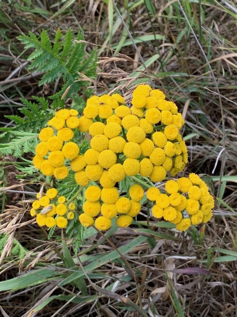 Tansy common Flower Todd Green