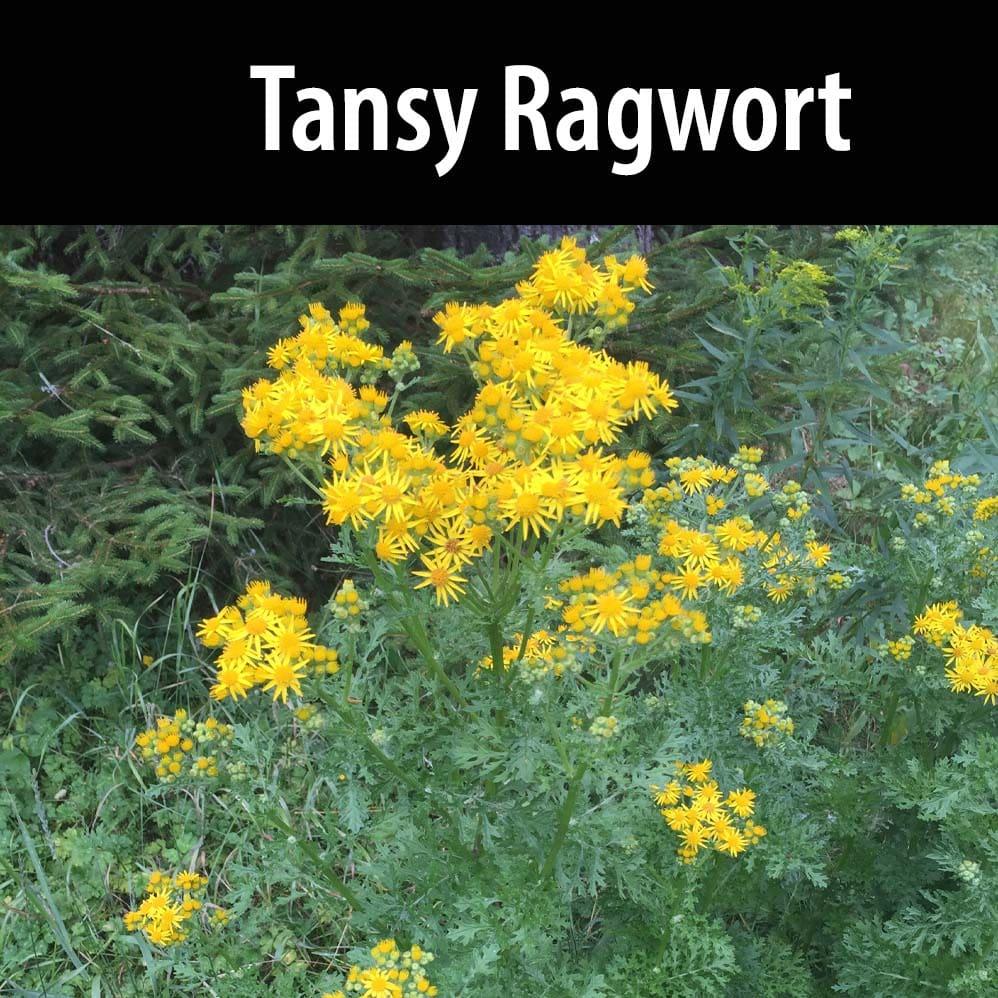 Tansy ragwort