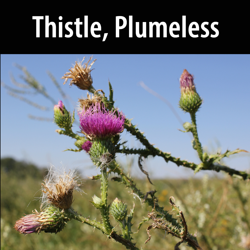 Thistle, Plumeless
