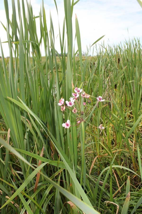 flowering rush (3)