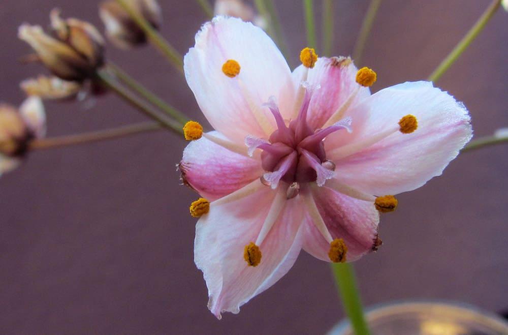 flowering rush (4)