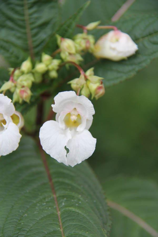 himalayan-balsam schumacher-6