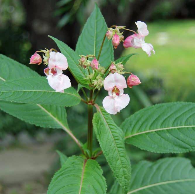 himalayan-balsam schumacher1-