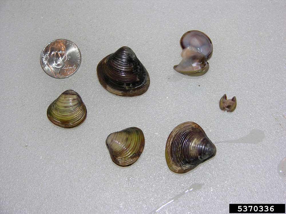 Asian clam (1)