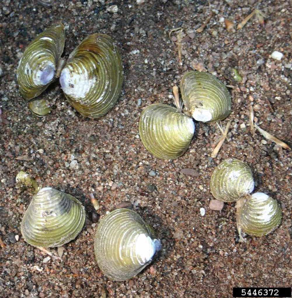 Asian clam (3)