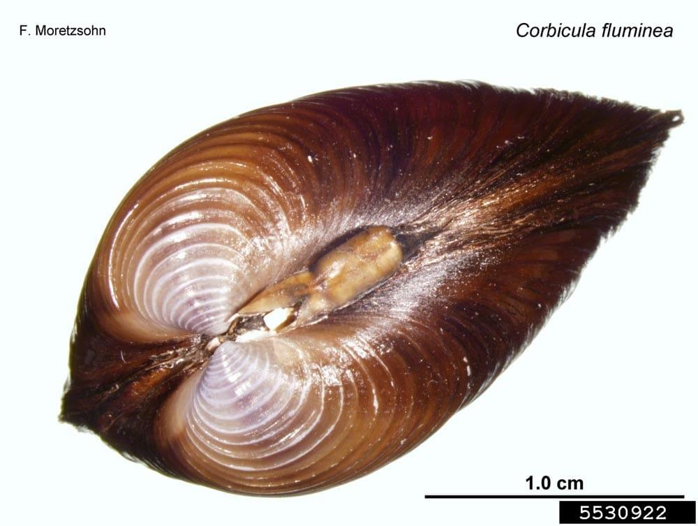 Asian clam (5)