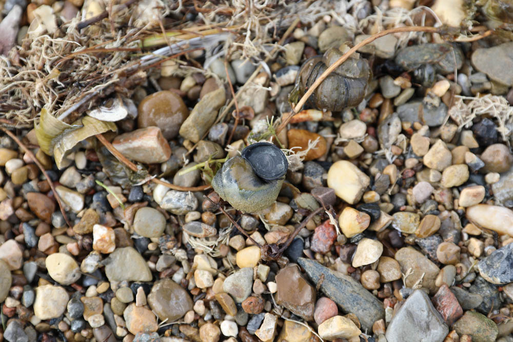 Chinese Mystery Snail Trapdoor