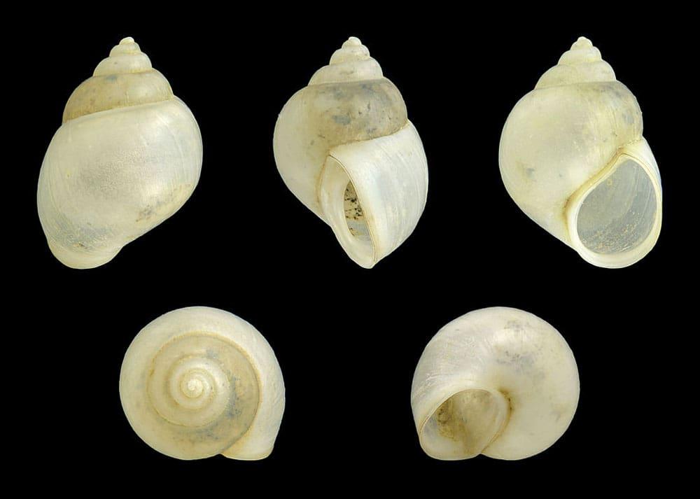 Faucet Snail H. Zell_wikimedia.org