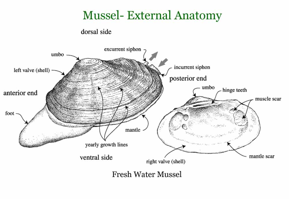 Golden Mussel seashellsto.blogspot.ca
