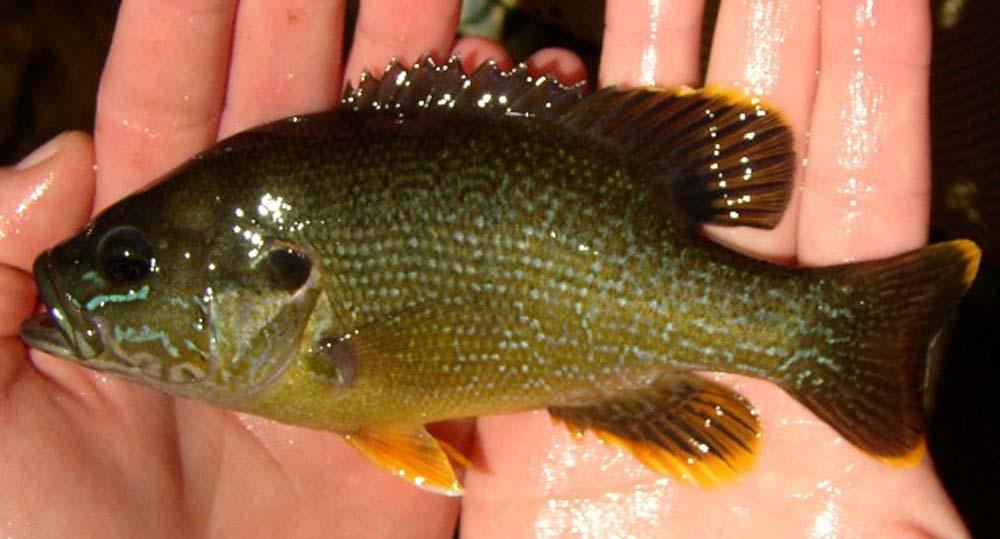 Green-Sunfish-fairfaxcounty.jpg