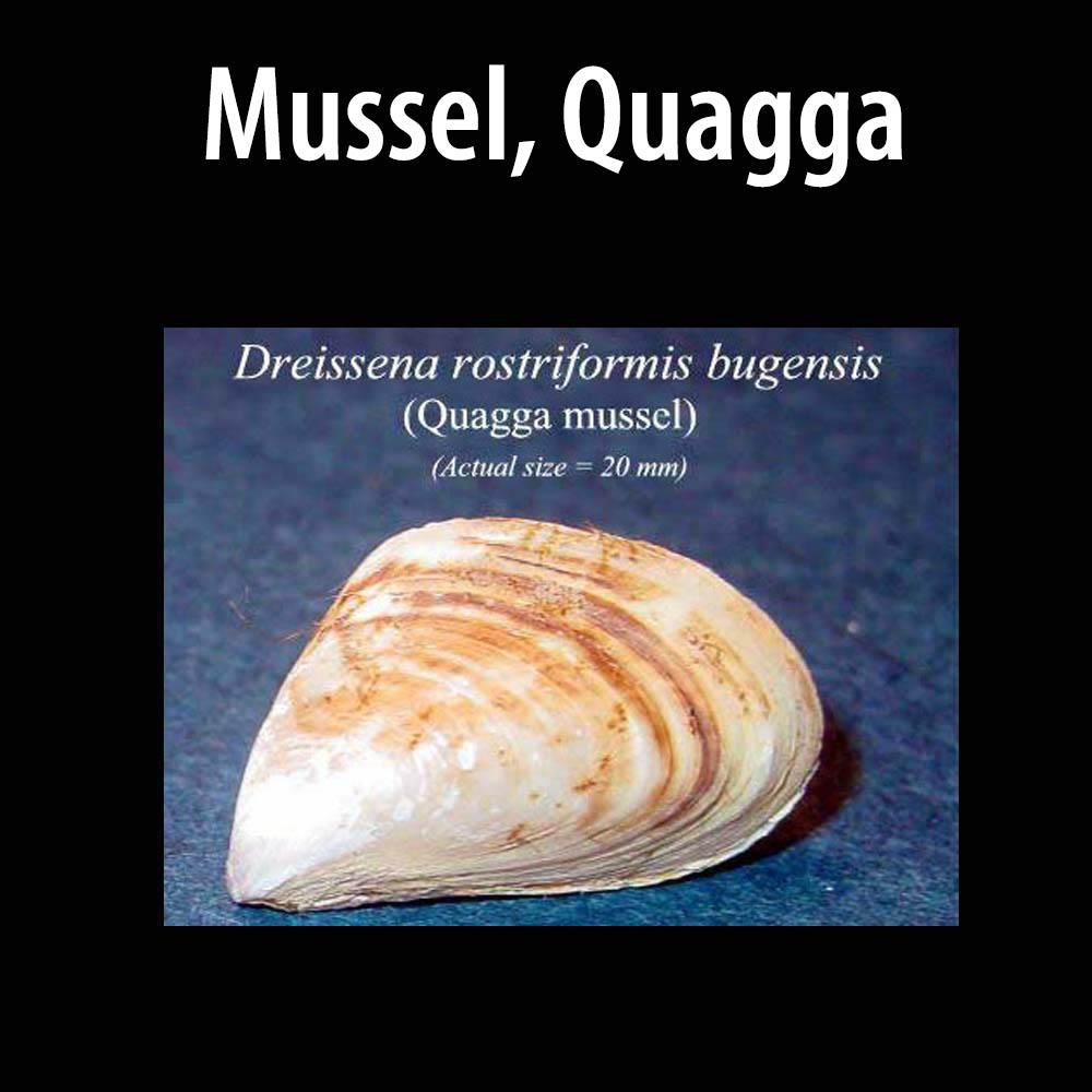 Mussel Quagga
