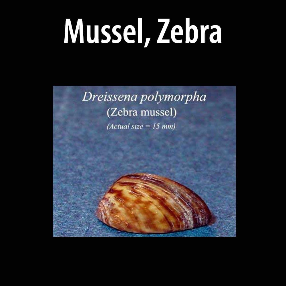 Mussel, Zebra