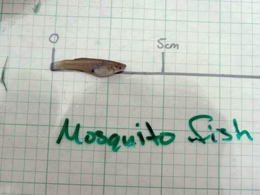 Western Mosquito Fish AdamDuvall20