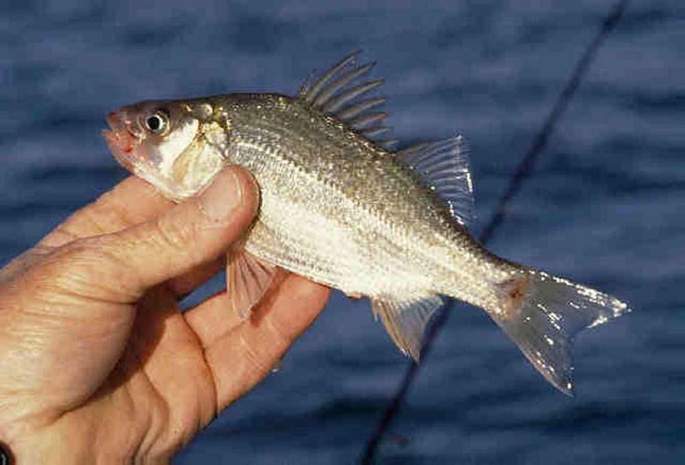 White-Perch-USA-Great-Lakes-Environmental-Research-Laboratory.jpg