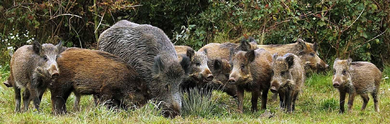 banner-wild-boar