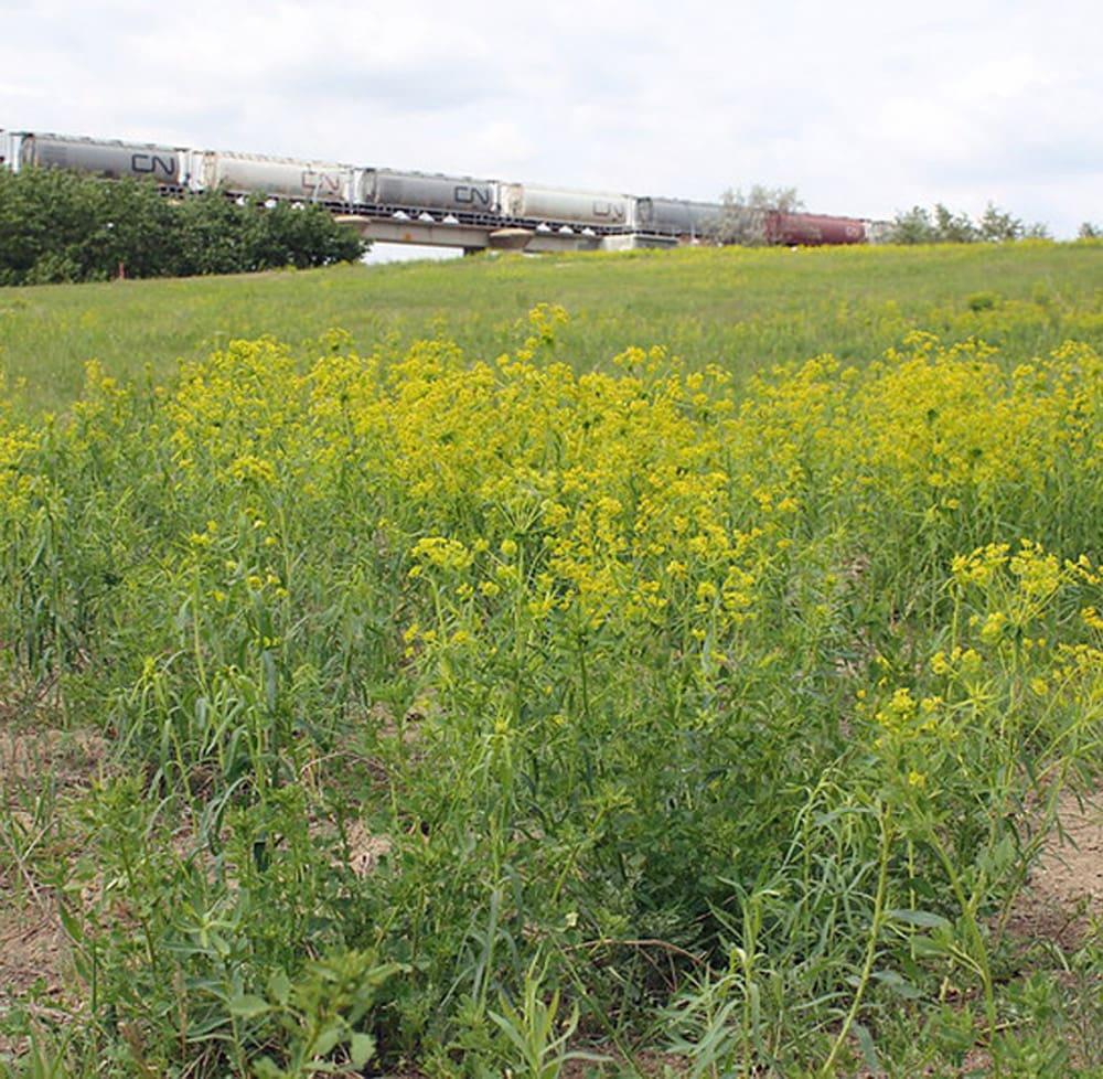 Leafy Spurge field2