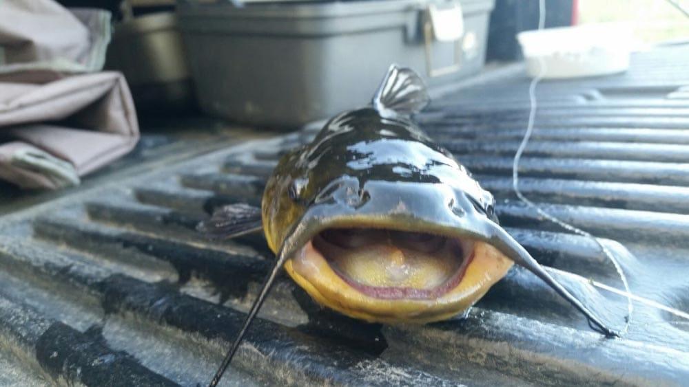 Black Bullhead catfish NK