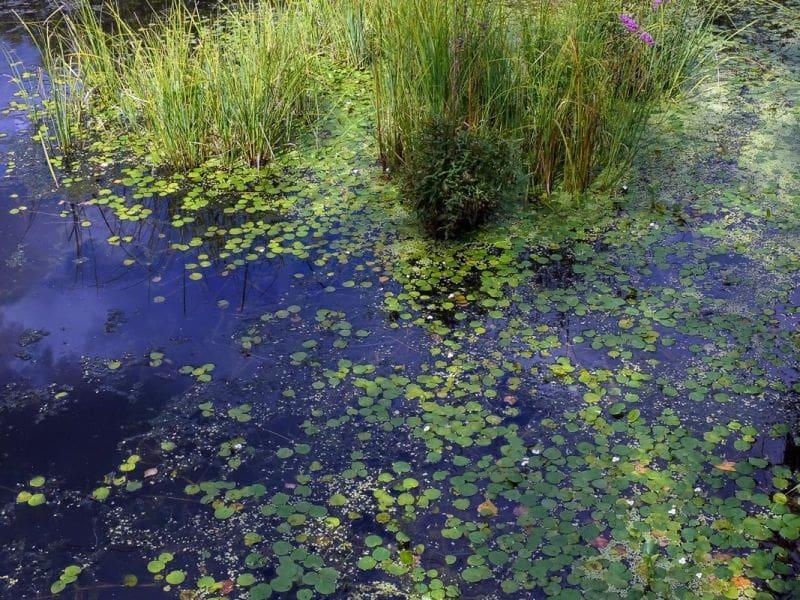 European Frog Bit aquariumbg.com_habitat