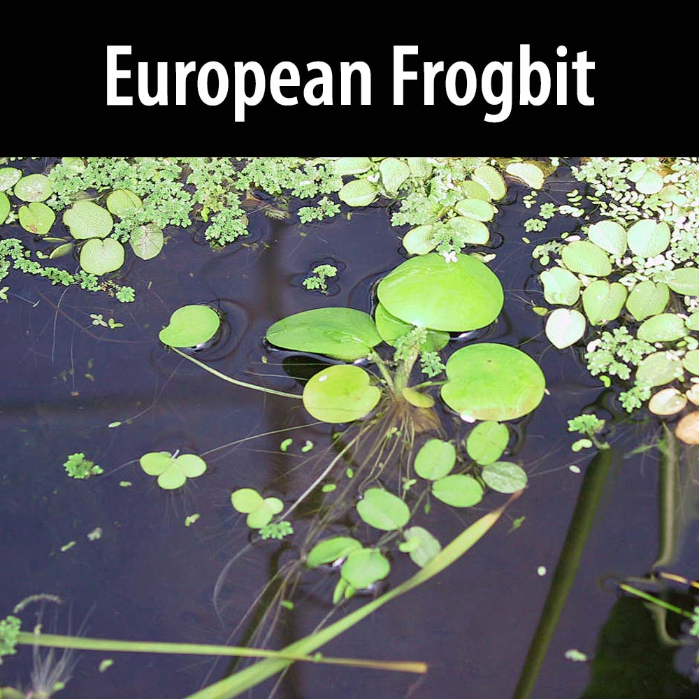 European Frogbit