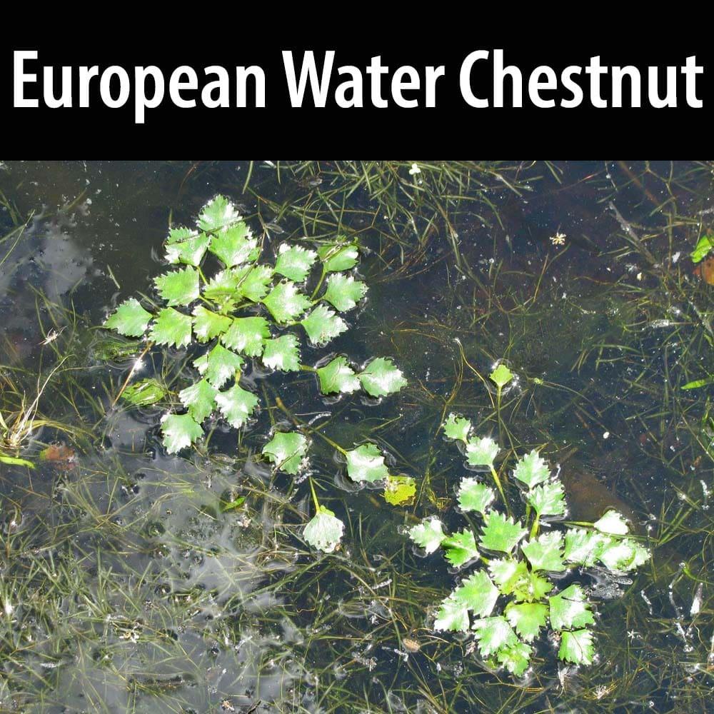 European Water Chestnut