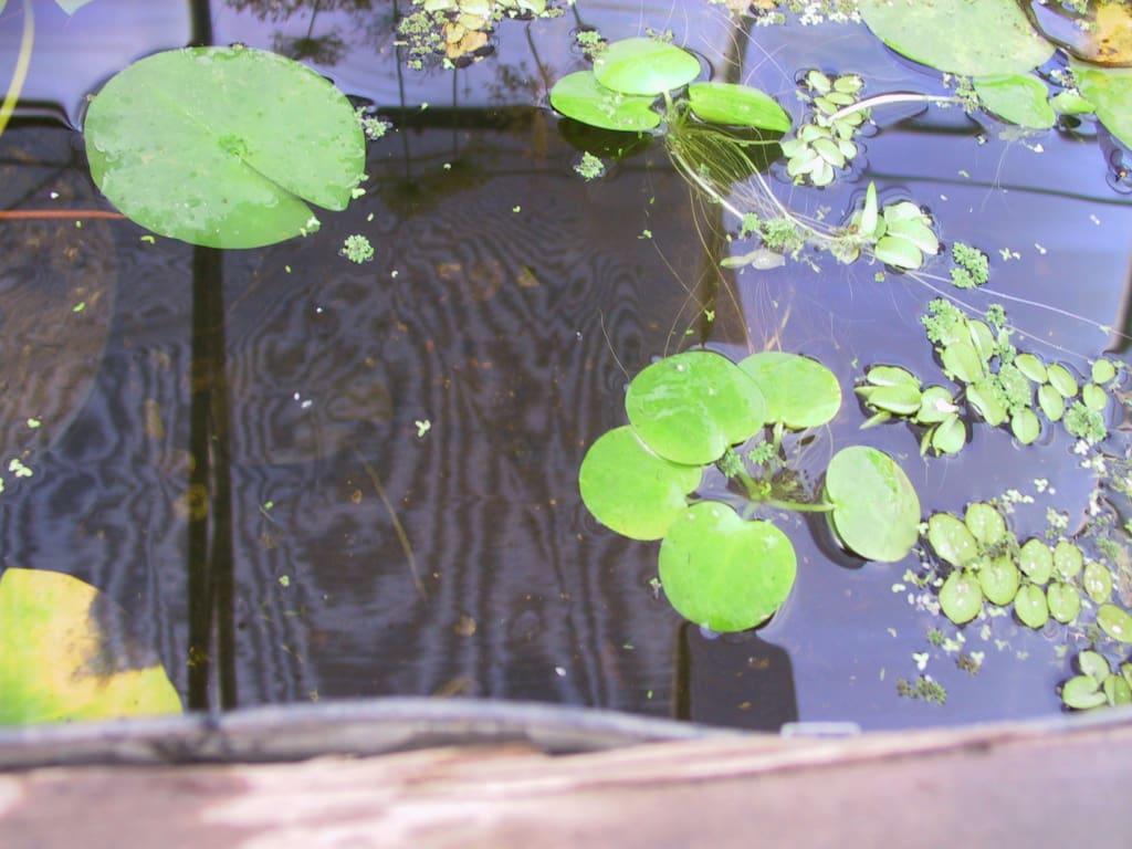 Frog bit (2)