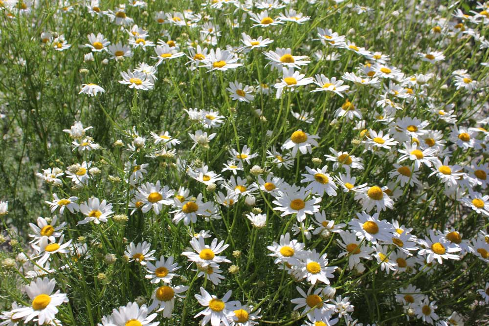 Scentless Chamomile Bow Valley Weed Tour NK